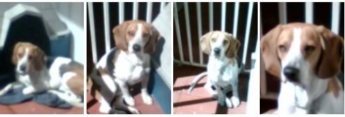 Adopcion_beagle_Chelito