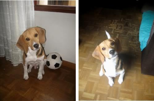 Beagle_Dexter_Gijon_sentado