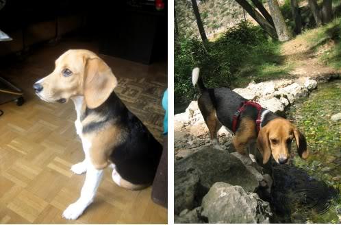 Beagle_Dexter_Gijon_suelto_casa