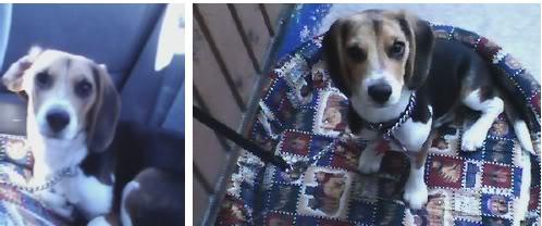 Beagle_Zeus_carro_y_canasto