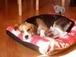beagle_Hermes