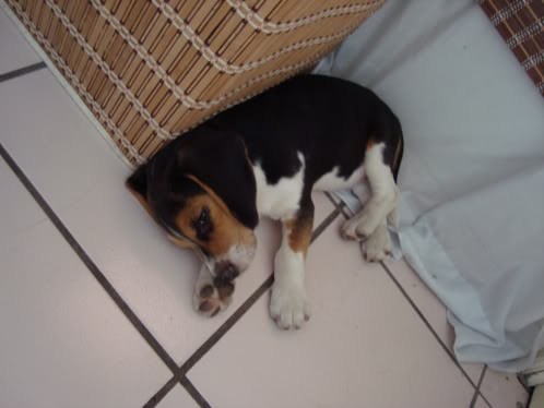 cachorro_beagle_Zeus