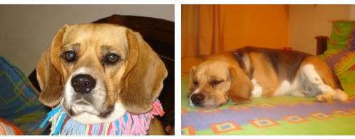 Beagle_Nacho_Medellin