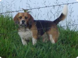 Beagle_Nacho_campo