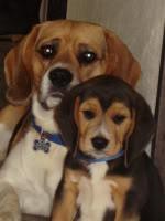 Beagle_Nacho_cachorro