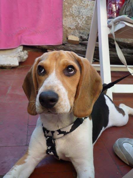 Beagle_Otto_Barcelona