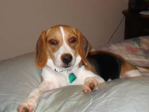 Beagle_Precioso_Miami
