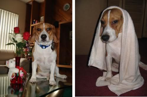 Beagle_llamado_Precioso_Miami