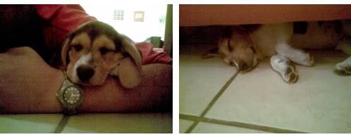 Cachorro_beagle_Totti_mexico