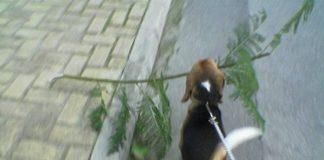 Garret tirando durante uno de sus paseos