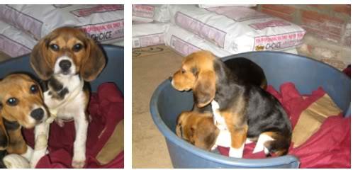 beagle_Otto_y_hermano