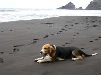 beagle_Ringo_playa_Canarias