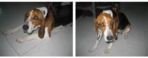 Beagle_Bego_Zaragoza
