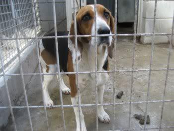 Beagle_Bego_adopcion