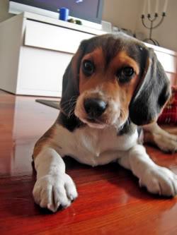 Beagle_Leo_enero09