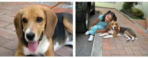 beagle-pakko-colombia-1