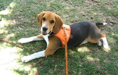 beagle-pakko-colombia-3