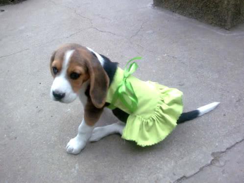 beagle_Aisha_pollera