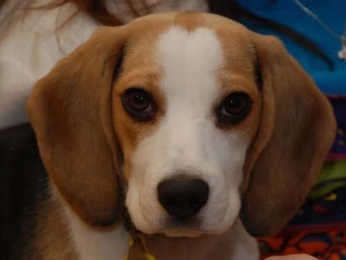 beagle_Linda_6meses
