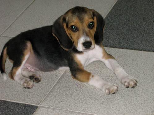beagle_Pako_Colombia