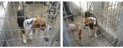 beagle_bego_perrera