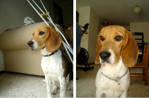 perrita_beagle_Moka