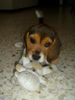 cachorrita_beagle_Moka