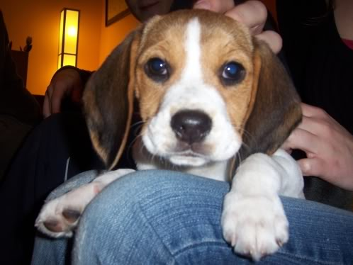 beagle-Ody-Madrid