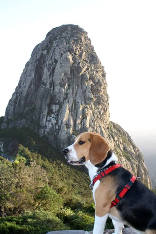 beagle Ringo suelto
