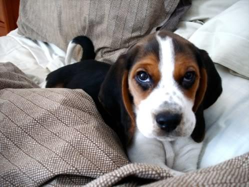 beagle-Vito-Mexico