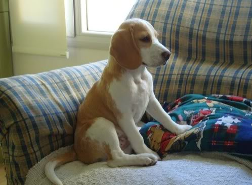 beagle-emma