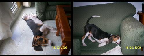 beagle-manolo-6meses-1