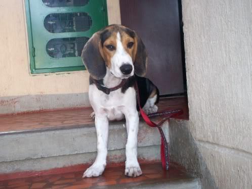 beagle-manolo-6meses-4