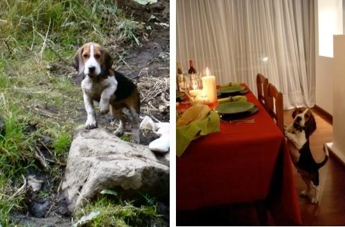 beagle-vito-bosque-cena