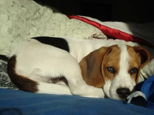 beagle Amelie de Mexico