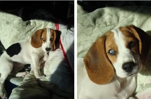 beagle_Amelie_Mexico
