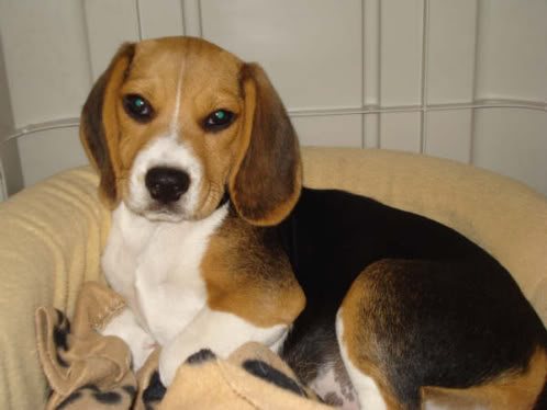 beagle_Buffy_Chile