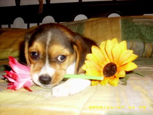 beagle_Jazmin_buenos_aires