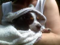 beagle_Maguie_50dias