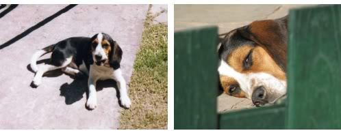 beagle_Maguie_jardin