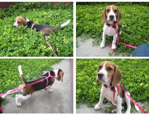 beagle_Tabata_Colombia