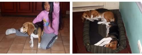beagles-Pakita-y-Paco