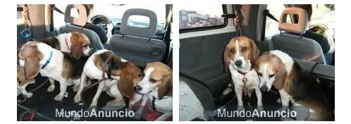 beagles_adopcion_laboratorio