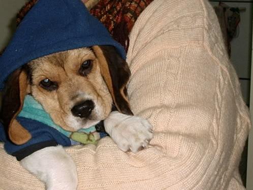 cachorro-beagle-Loleto