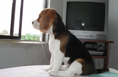 cachorro-beagle-Maya-Colombia