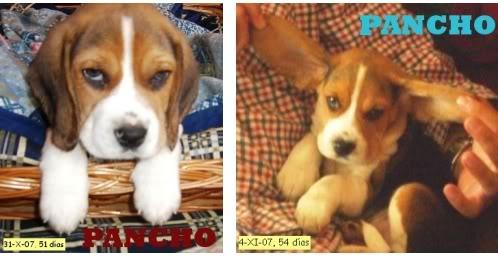 beagle Pancho de Logroño