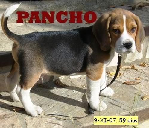 beagle Pancho cara de pena