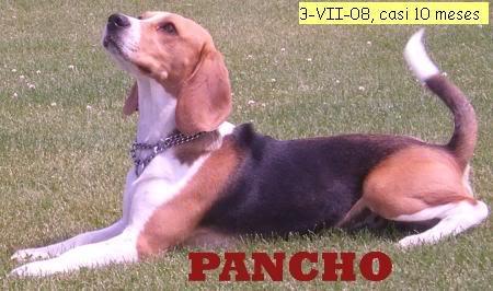 beagle pancho atento