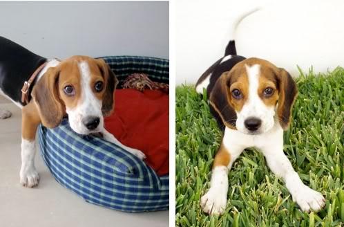 beagle_Bagel_3.5Meses
