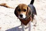beagle Tomasa en la playa